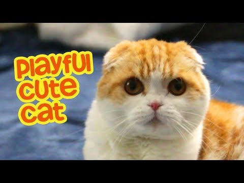 Playful Cute Cat Scottish Fold Waffles the Cat
