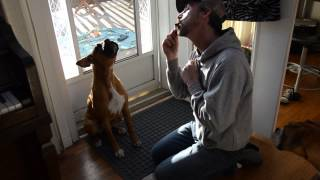 Boxer (zero) Howling At The Harmonica