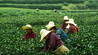 Hangzhou Meijiawu Tea Plantation