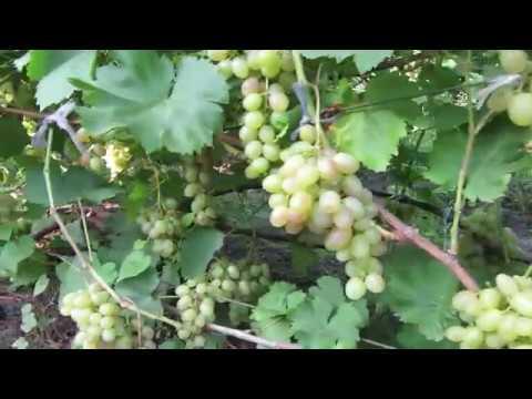 Виноград 2018 Виноград Тасон Отзыв о винограде - Про Сорта