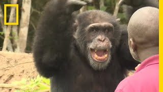 Zapętlaj See How a Lone Chimp Finds Solace With His Human Caretaker | National Geographic | National Geographic