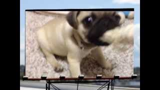 PUG PUPPY being very naughty