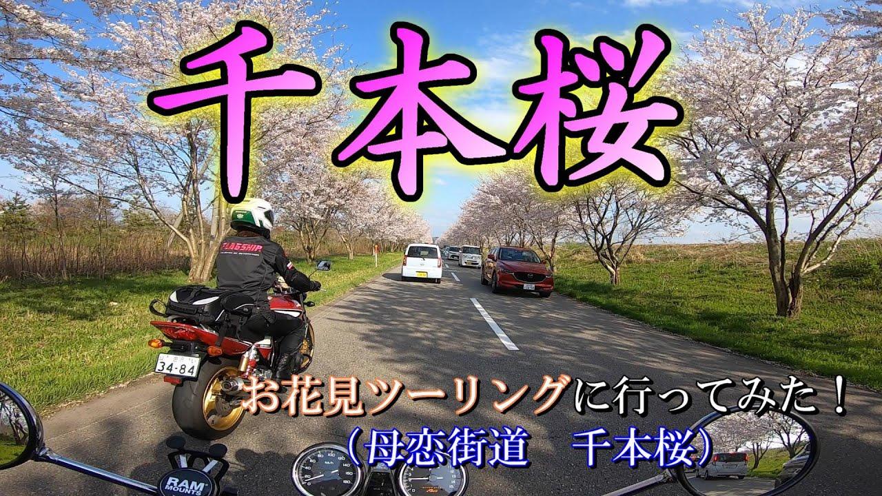 【CB400SF】春なので嫁と桜ツーに行ってきました!