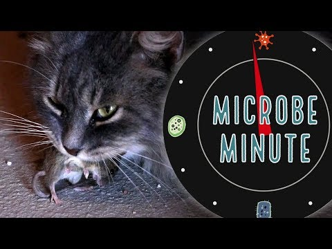 The Cat Parasite That Tricks Rat Brains   Microbe Minute