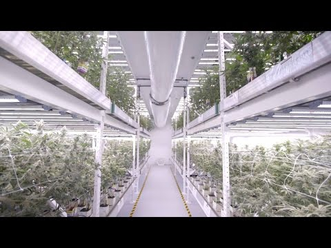 Vertical LED Grow Light Cannabis Farm At MedMen