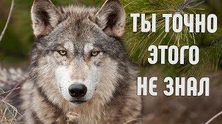 Вы многое не знали об этом животном | Жизнь волков