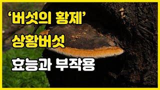 황제의 버섯! 상황버섯의 효능과 부작용ㅣ건강정보 TV …