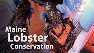 Why Maine lobstermen throw back their catch
