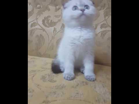Scottish fold kitten available Pikachu