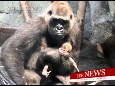 Em luto, gorila n�o consegue deixar corpo do filho que morreu