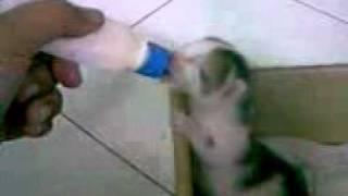 Anak kucing menyusu