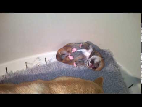 "Shiba puppy 1 weeks old litter ""B"""