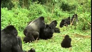 Odc 3 Goryl   największa z małp 1 1