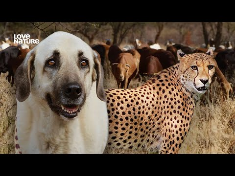 How Dogs Are Saving Cheetahs | Love Nature