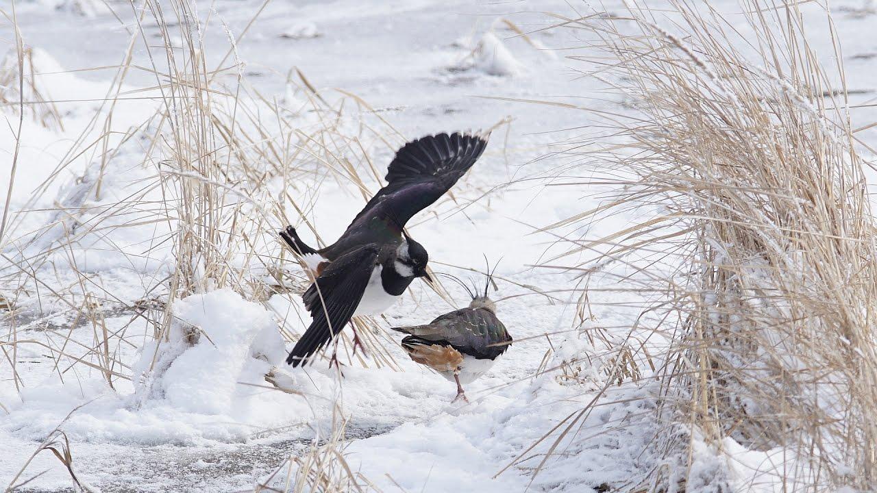 фото чибиса птицы