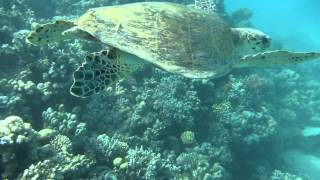 1306.00010 Turtle Thumbnail
