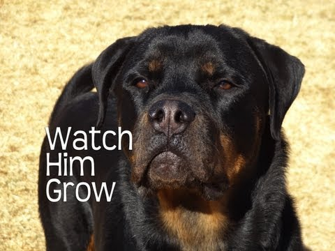 Rottweilers First Year – Watch Him Grow