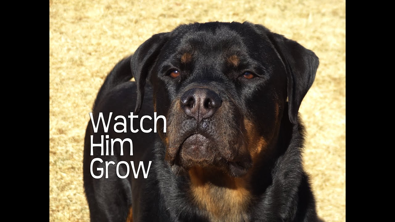 Rottweilers first year watch him grow youtube