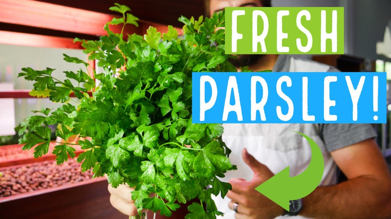 UNLIMITED AQUAPONICS PARSLEY