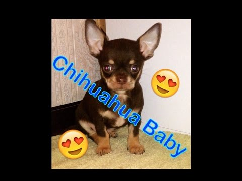 Neues Familienmitglied/ Chihuahua Puppy