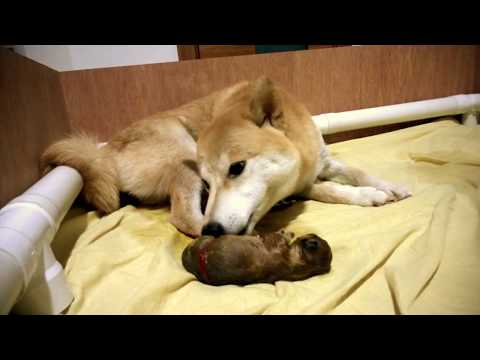 Birth of puppy 1 of 2 - Shiba Inu / Doge (graphic content)