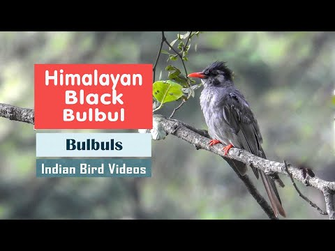 The Himalayan Black Bulbul (Hypsipetes leucocephalus)