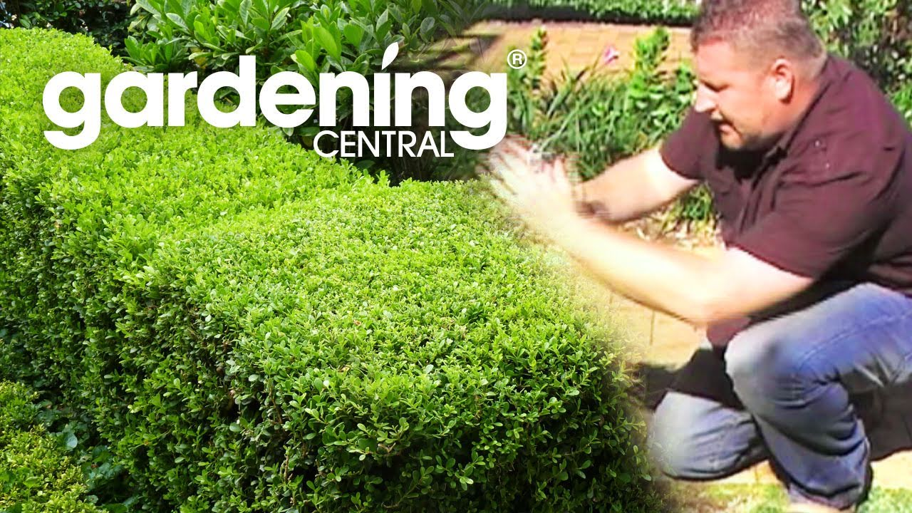 How to plant a hedge garden hedging information for Planting a garden