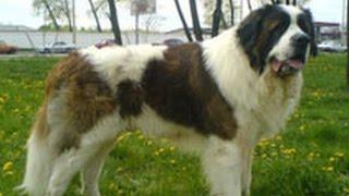 Московская сторожевая. Лучшие породы собак.