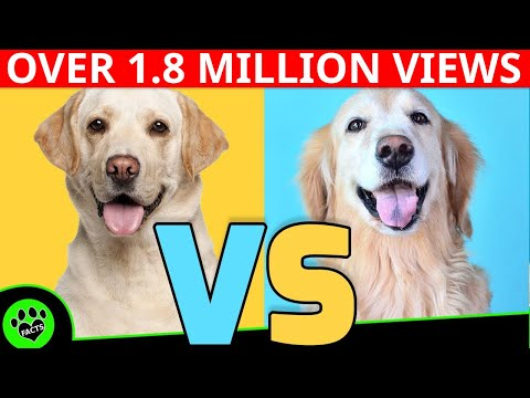 Golden Retriever vs Labrador Retriever - Dog vs Dog  Which is Better?