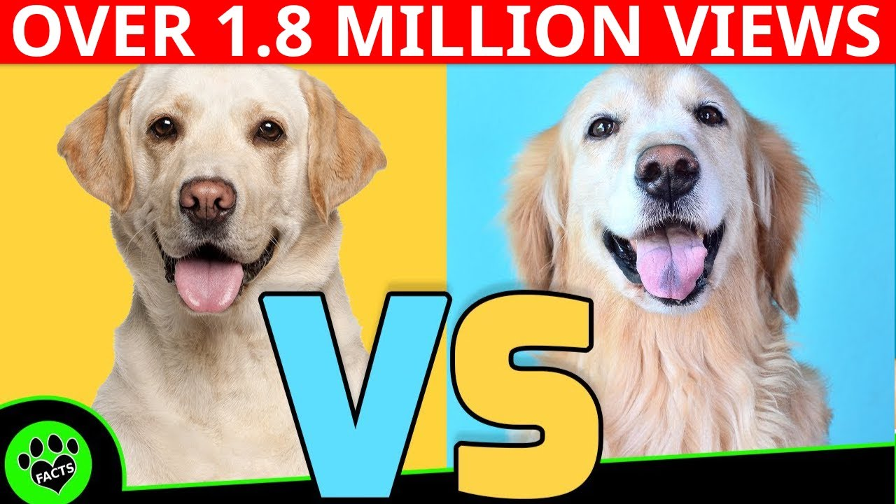 Golden Retriever Dog Vs Comparison