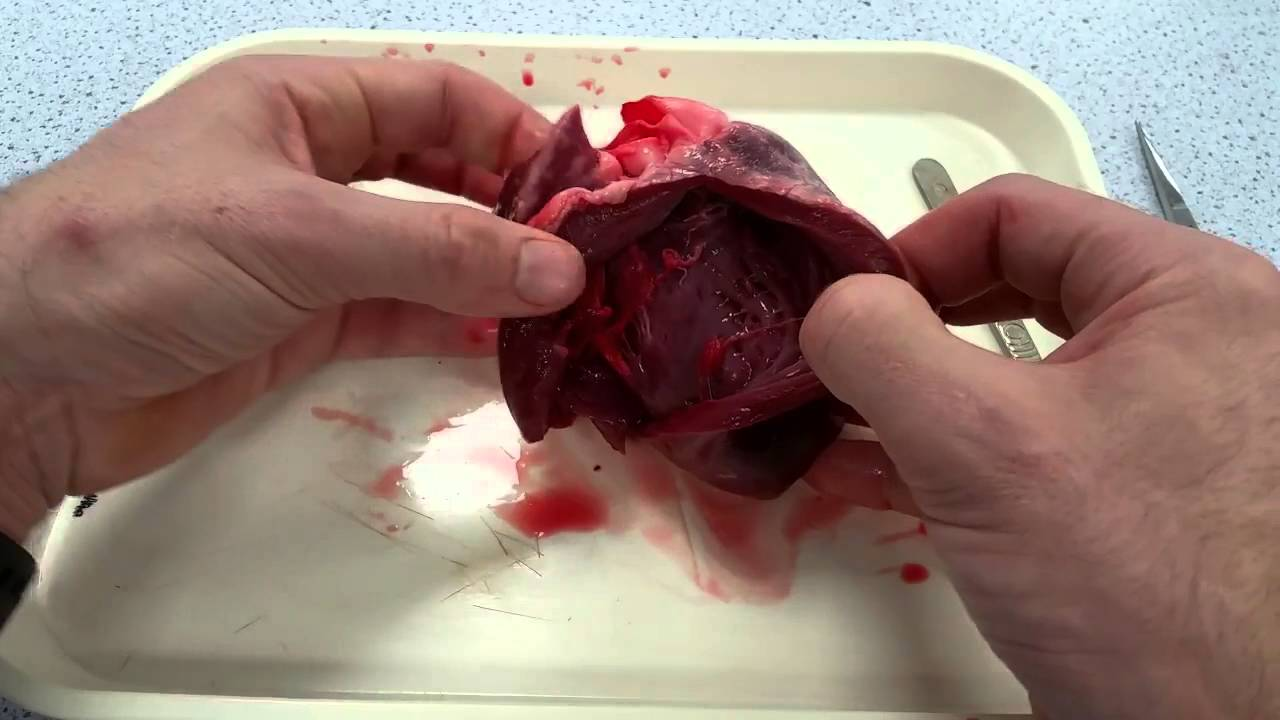 Heart dissection - AS Level Biology - YouTube