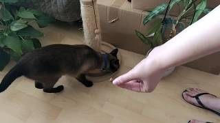 Siamese cat eating treats