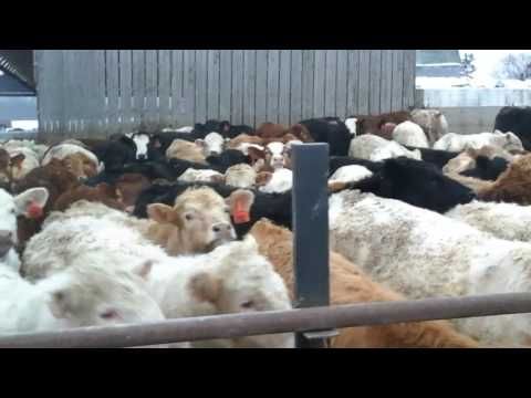 Cattle feeding DeNure farms