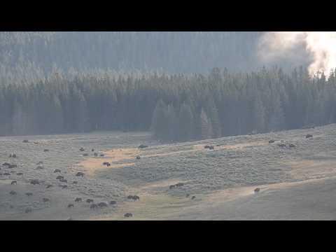 Yellowstone National Park's Wildlife: Bison running wild