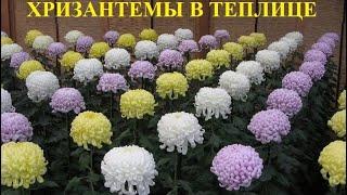 Эксперимент окончен. Переоборудование теплицы под цветы (Хризантемы)!!!