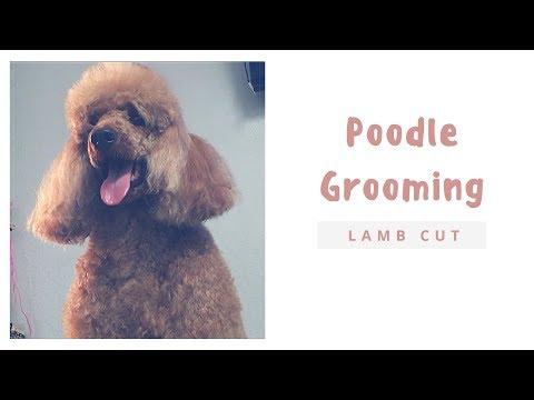 POODLE GROOMING: LAMB CUT