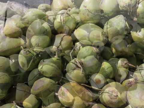 Coconuts Can Be Big Business for Belize