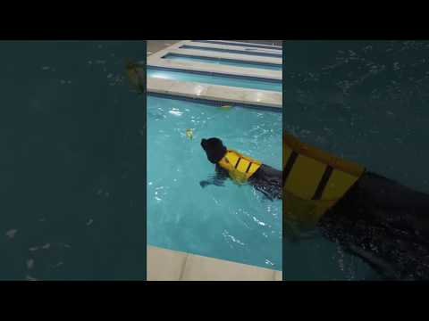 Simon the Newfoundland Dog - Swimming in a Pool