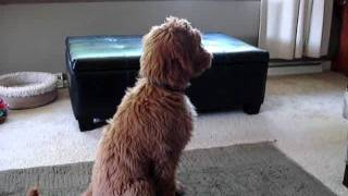 Zeke the goldendoodle was soo excited daddy came home. thumbnail