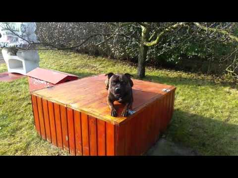 Staffordshire Bull Terrier - obedience