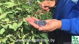 Чем известен крупноплодный сорт жимолости «Бакчарский великан»?