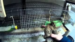 Как отличить эстонских перепелов, самца от самки?/How to distinguish the Estonian quail?