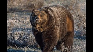 Tesla Autopilot saves Momma Bear and cubs lives