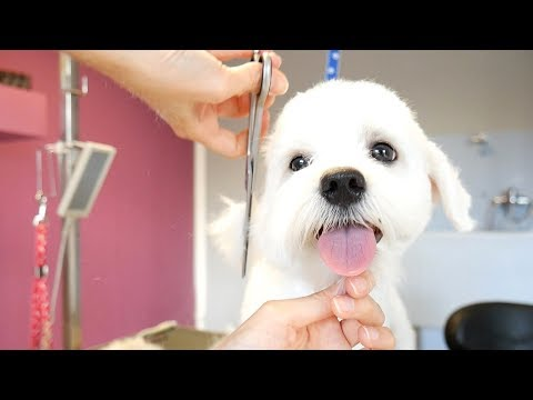 Grooming Guide - How To Groom A Maltese (Puppy) #13