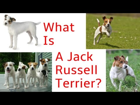 What Is A Jack Russell Terrier???