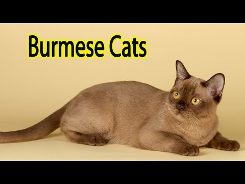 Foreign Burmese Breed