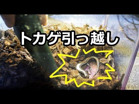 トカゲの引っ越し [ Moving a lizard ]