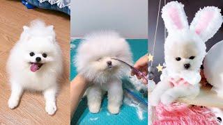 Tik Tok Chó phốc sóc mİni Funny and Cute Pomeranian Videos #11