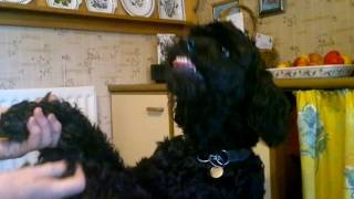 Dog Trick Poodle  ,mentally Challenged Rotterdoodle