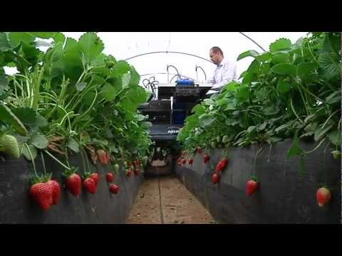 strawberry picker machine